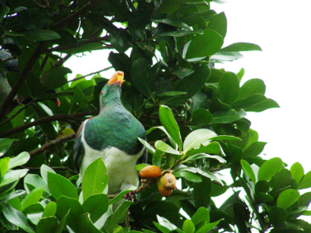 aboutKereru04