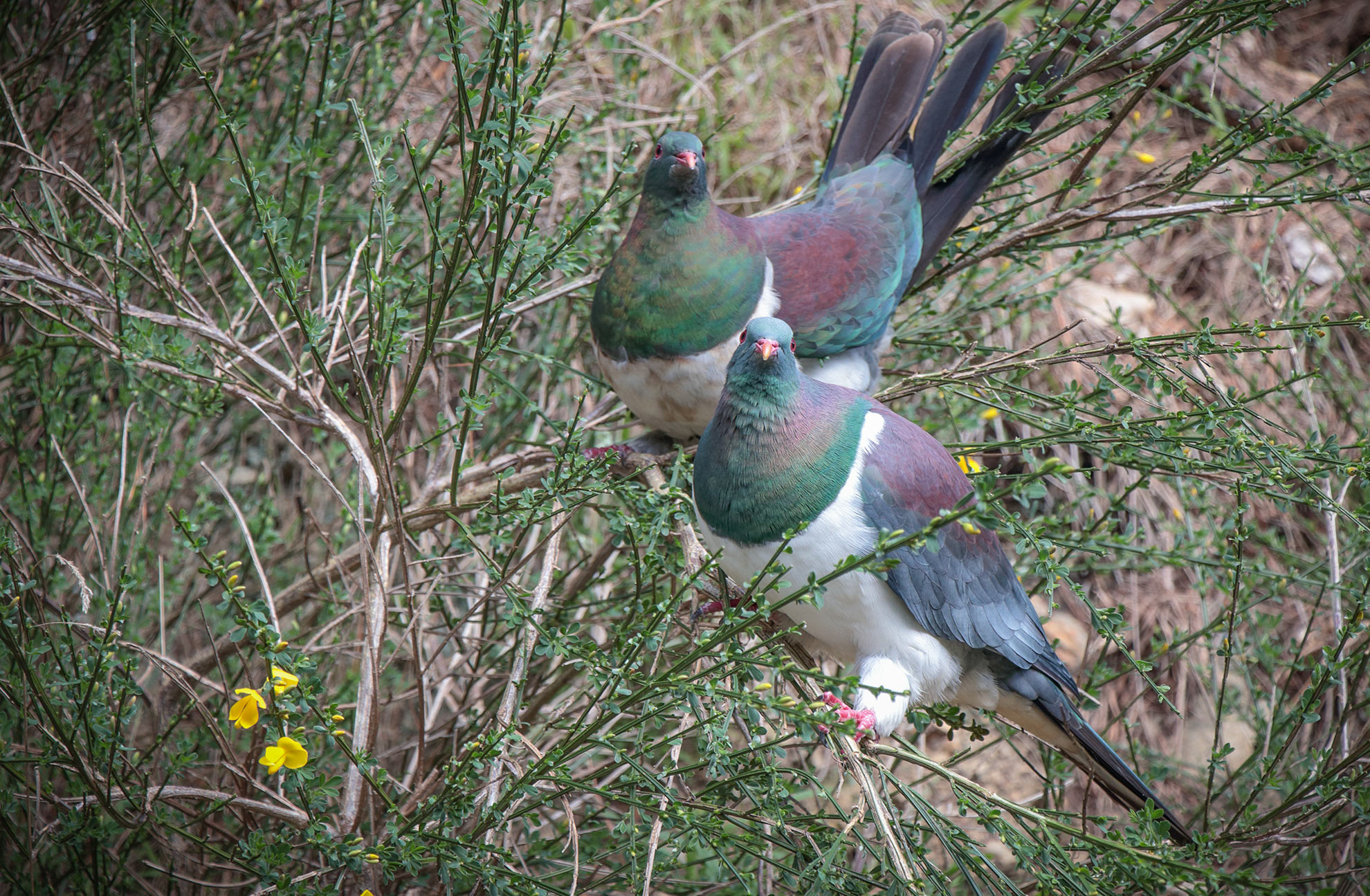 The 2017 Great Kererū Count – Results