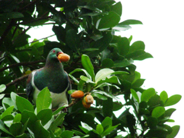 aboutKereru05