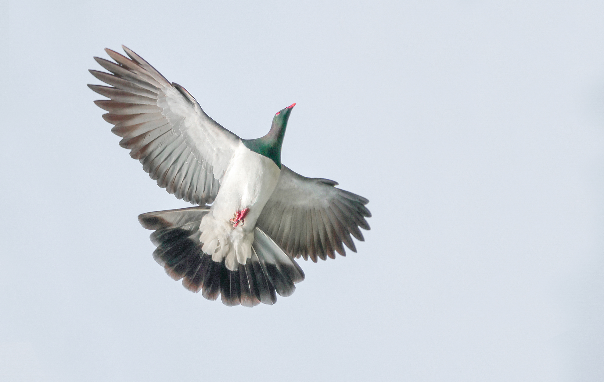 Great Kererū Count 2018 takes flight