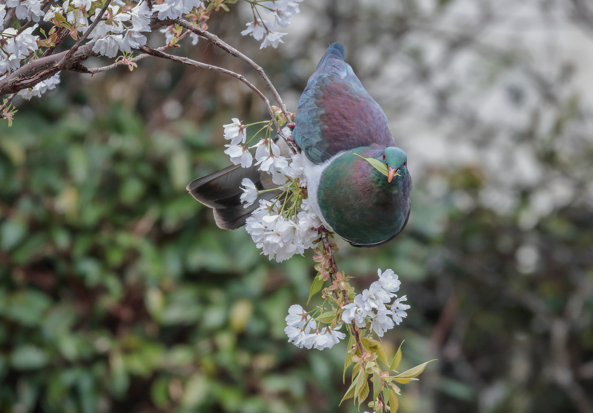 Kiwi's made kererū count this week in NZ's biggest citizen science project